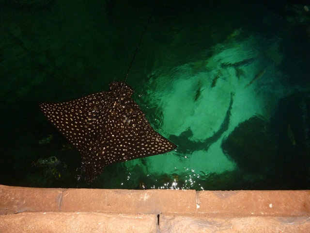Eagle Ray up and close