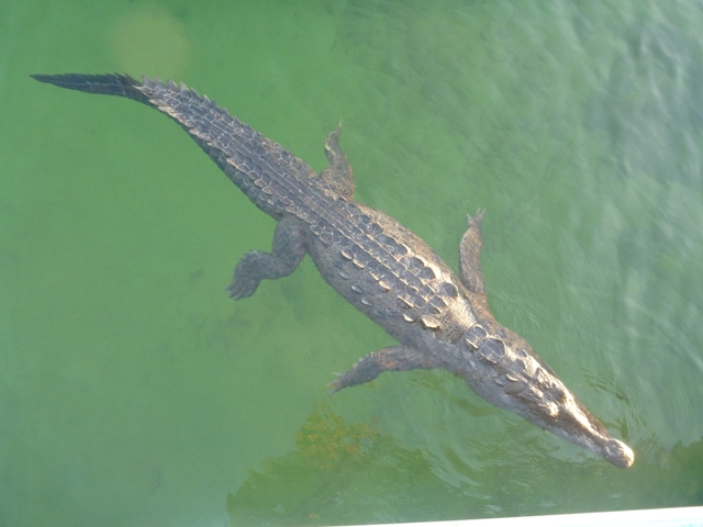 Do you want to swim when these guys are floating around in the mangroves?