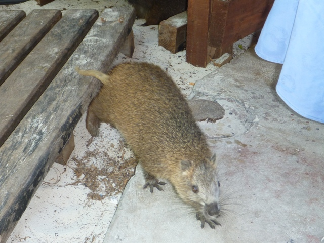 A Jutías, the size of a cat. We saw many of these on various Cays in Cuba
