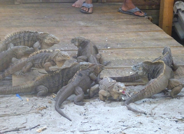 Iguanas - The other residents here and trust me there were ALOT more!