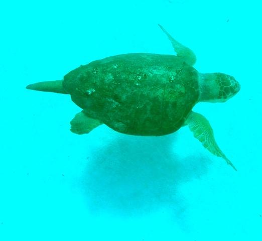 A 1m loggerhead turtle