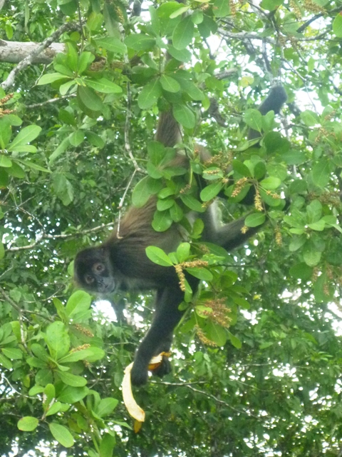 A spider monkey eating his banana above us