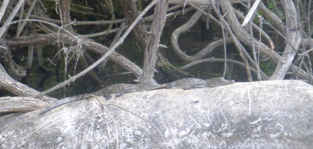 baby croc's sunning on a log. Where's mum...no doubt watching us closely