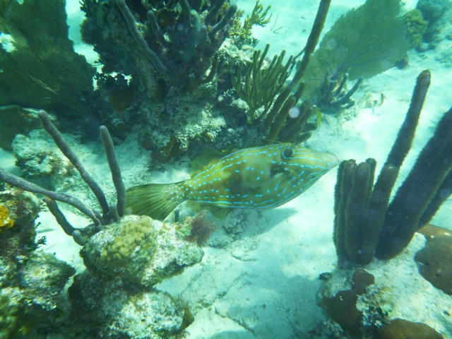 lots of marine life out snorkeling. This is a Scrawled Filefish