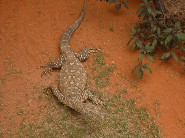 A Perentie lizard, which grows to 2.5m. Australia has all sorts of animals