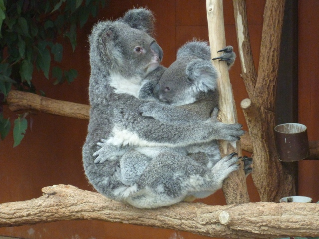 There are three Koalas here, see all the paws