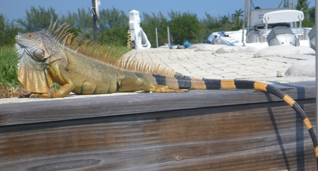 a rather large impressive iguana also hanging out at Camana Bay