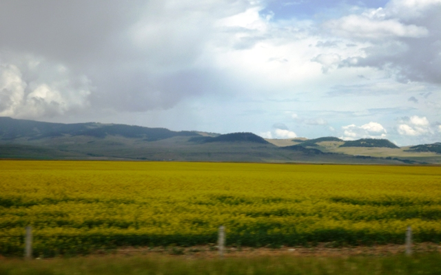 The canola fields along the foothills are pretty