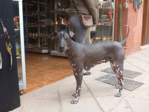 The Peruvian hairless dog was everywhere
